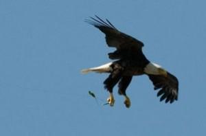eagle_fishing_line