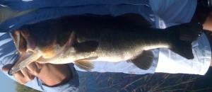 Bass Okeechobee Largemouth