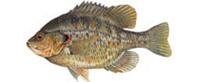 Redear Sunfish Panfish