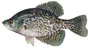 Black Crappie Fishing Reports