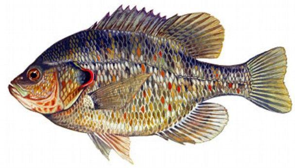 Shellcracker fishing tips sheelcracker fishing florida for Shell cracker fish