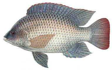 Tilapia floride poisson d 39 eau douce aussi appel bleu for Estanques para tilapia