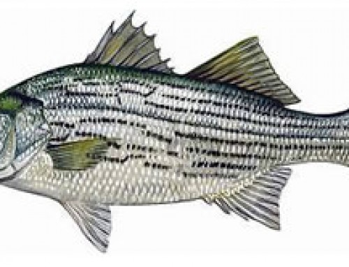 Florida Diversifying the Waters with Hybrid Sunshine Bass