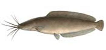 Freshwater Species of Fish | Florida Freshwater Fishing - photo#43