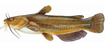 Yellow Bullhead Catfish
