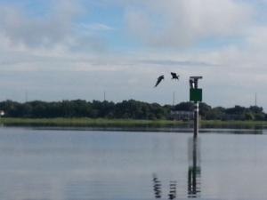 Two Eagles Fishing on Lake Toho