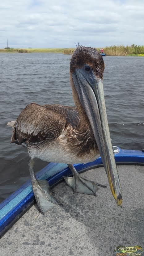 freshwater pelican