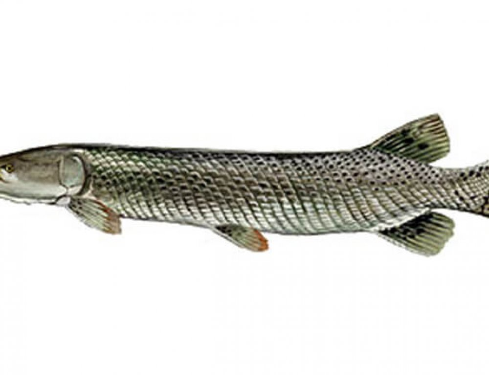 Florida Alligator Gar