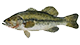 Butler Chain Largemouth Bass
